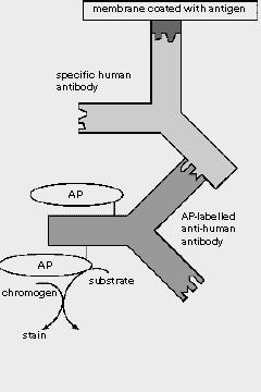 imunoblot1
